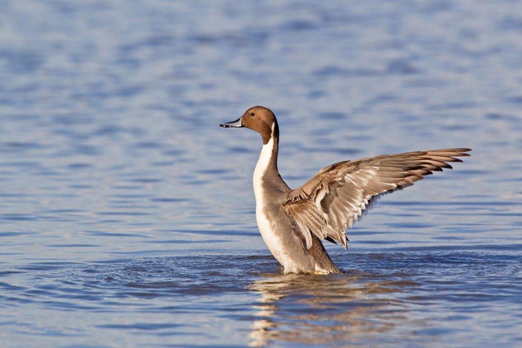 Stock Photo: 4421-3835 Northern Pintail (Anas acuta) adult male, wing stretching and flapping after preening on water, Slimbridge, Gloucestershire, England, march
