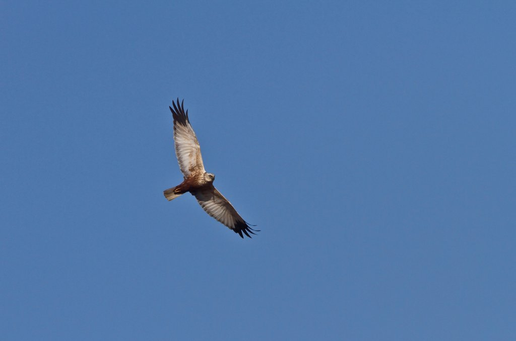 Stock Photo: 4421-38413 Male Western Marsh Harrier, flying at RSPB Minsmere Suffolk,