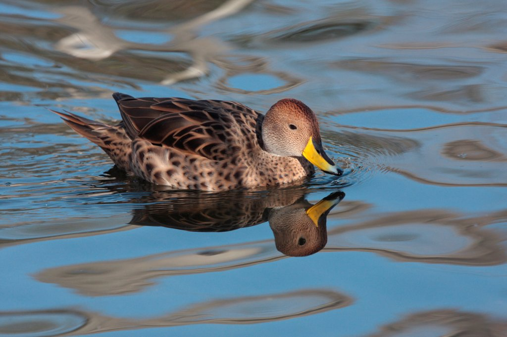Yellow-billed Pintail (Anas georgica spinicauda) adult, swimming, Temaiken, Buenos Aires Province, Argentina, july : Stock Photo