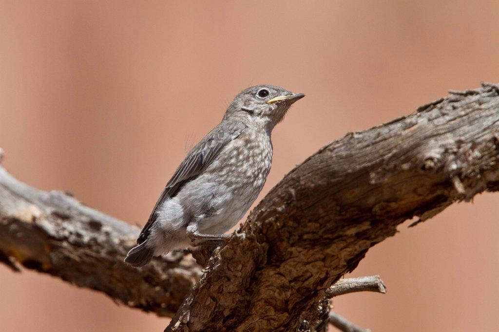Stock Photo: 4421-38573 Western Bluebird juvenile bird - Utah USA