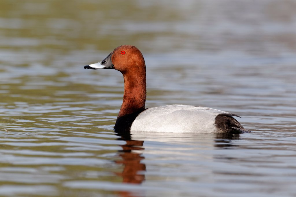 Stock Photo: 4421-3872 Common Pochard (Aythya ferina) adult male, swimming, Warwickshire, England, march