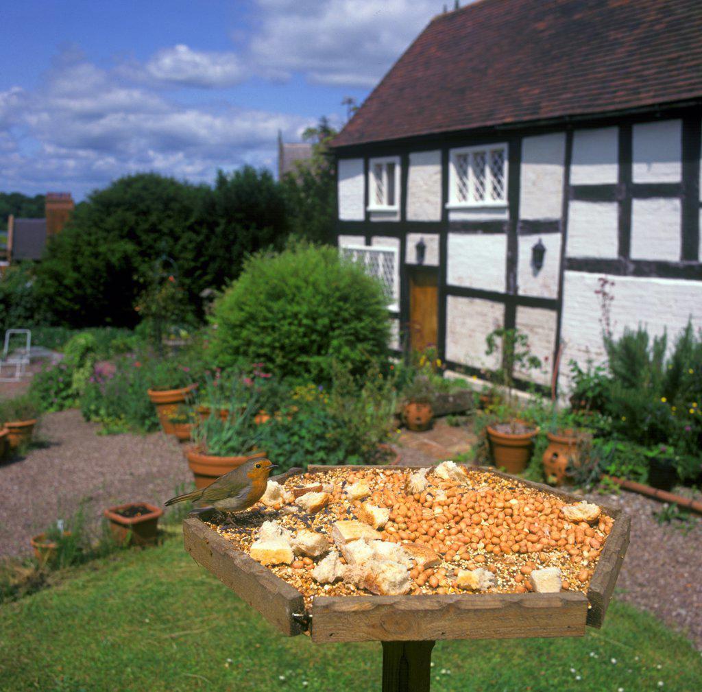 European Robin (Erithacus rubecula) adult, feeding on birdtable in cottage garden, England, summer : Stock Photo