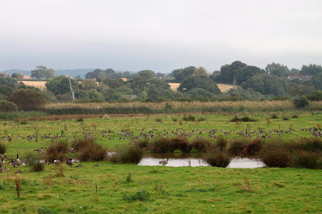 Stock Photo: 4421-38933 Marshland habitat with Canada Goose (Branta canadensis) flock, Bowling Green Marsh RSPB Reserve, Exe River Estuary, Devon, England, august