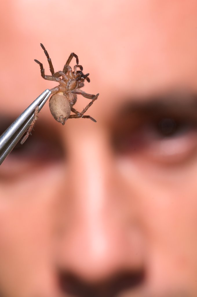 Stock Photo: 4421-39248 Arachnologist observing spider in tweezers for study purposes, Italy