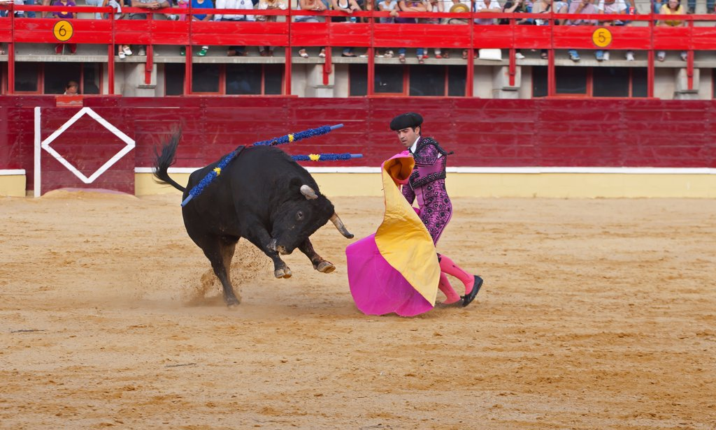 Stock Photo: 4421-39306 Bullfighting, Matador with cape, fighting bull impaled with banderillas in bullring, Medina del Campo, Valladolid, Castile-Leon, Northern Spain, september