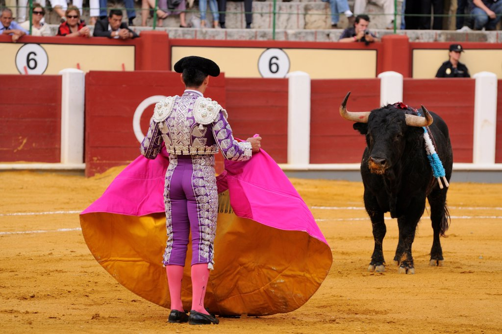 Bullfighting, Matador with cape, fighting bull impaled with banderillas in bullring, 'Tercio de banderillas' stage of bullfight, Spain, september : Stock Photo