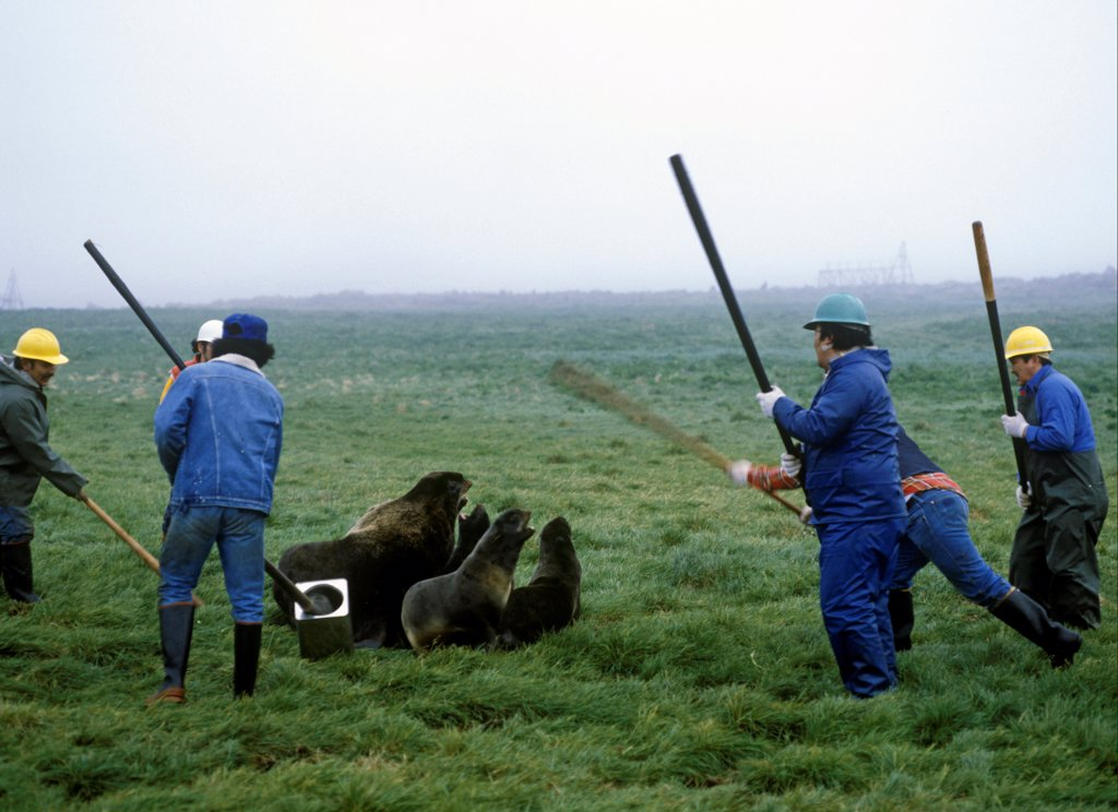 Aleut men with clubs, killing Northern Fur Seals (Callorhinus ursinus) as part of subsistence hunt, St. Paul Island, Pribilof Islands, Alaska, U.S.A. : Stock Photo