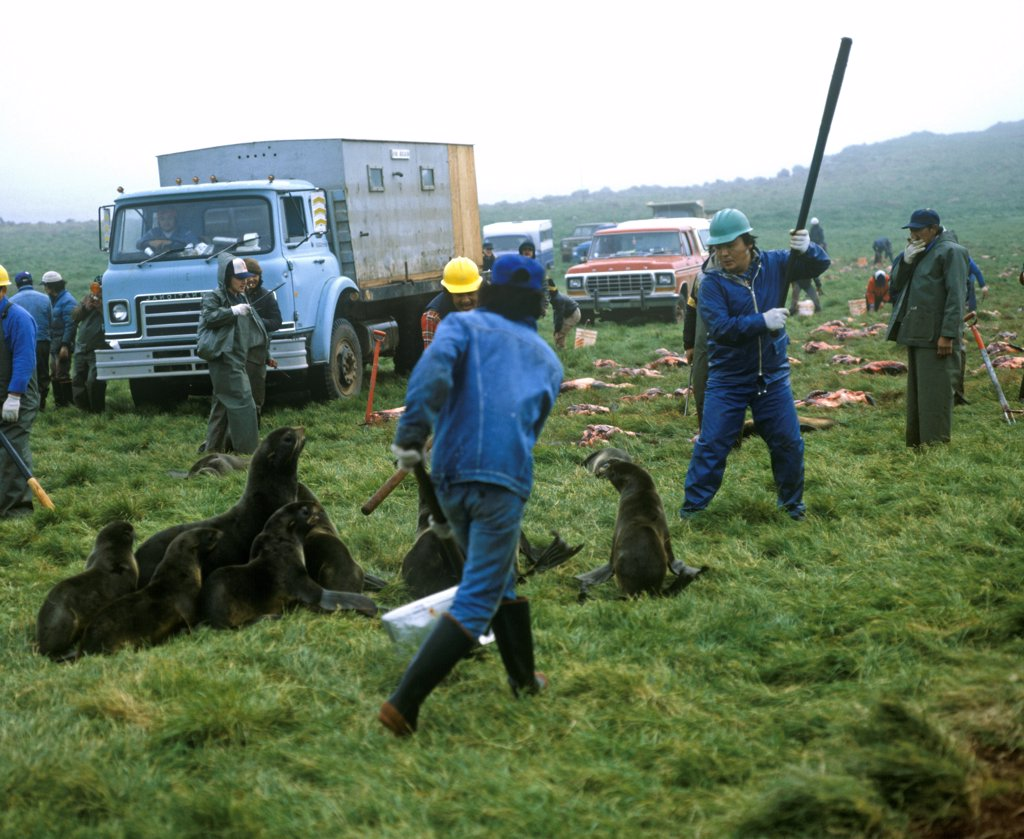 Stock Photo: 4421-39362 Aleut men with clubs, killing Northern Fur Seals (Callorhinus ursinus) as part of subsistence hunt, St. Paul Island, Pribilof Islands, Alaska, U.S.A.