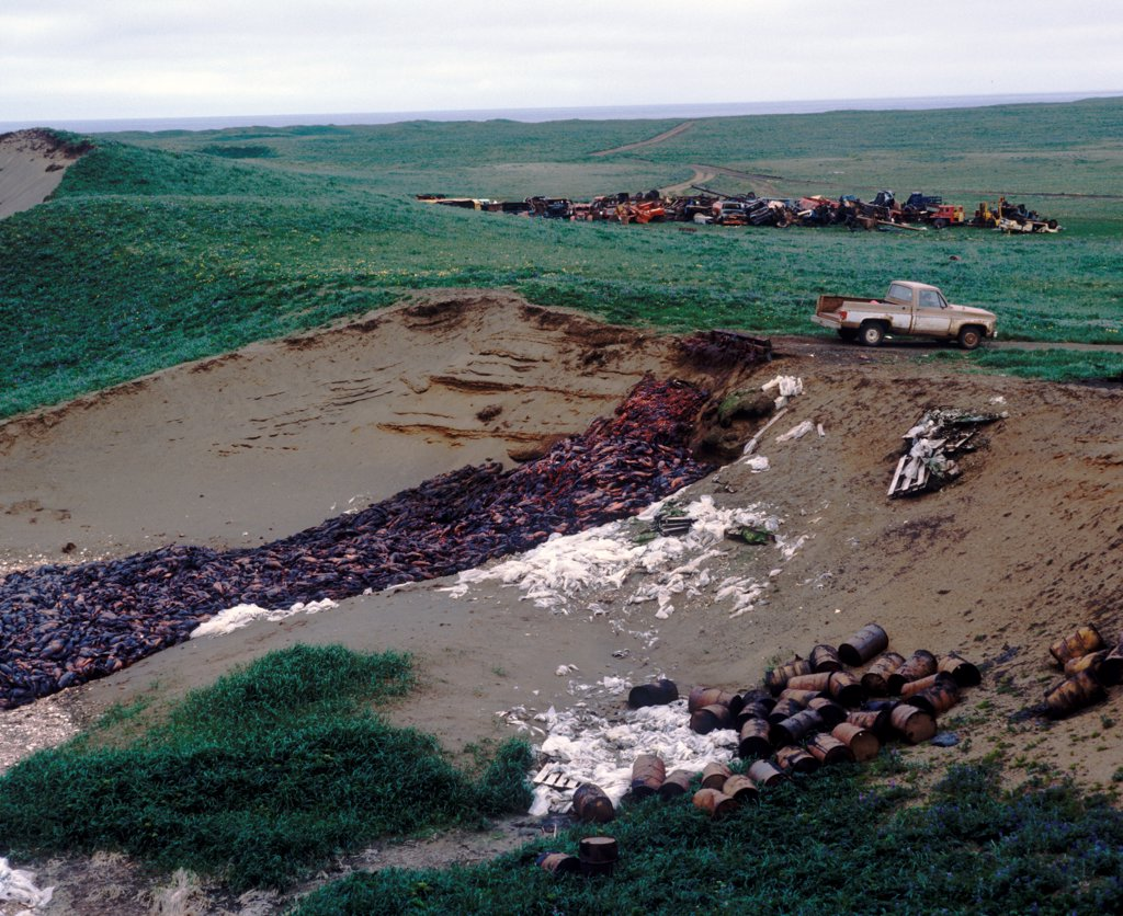 Destruction-Seal Cull Pit containing 'harvested' carcasses of Northern Fur Seal, Pribilof Island : Stock Photo