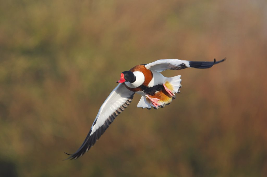 Stock Photo: 4421-3951 Common Shelduck (Tadorna tadorna) adult male, in flight, Severn Valley, Gloucestershire, England, winter