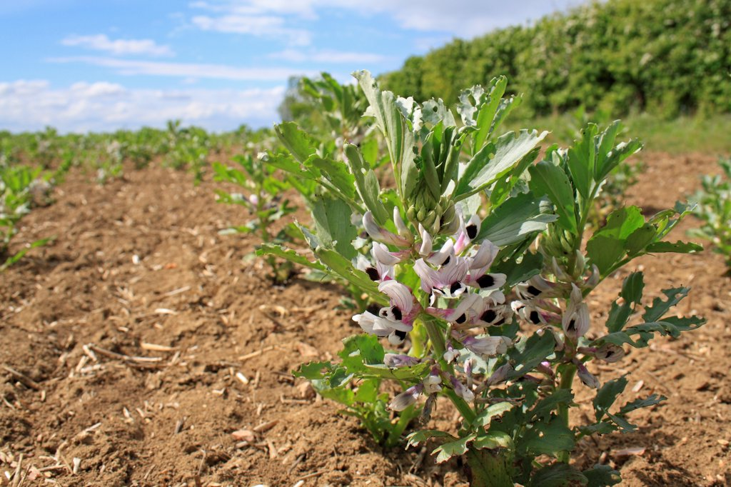 Field Bean (Vicia faba) flowering, young crop growing in field, Bacton, Suffolk, England, may : Stock Photo
