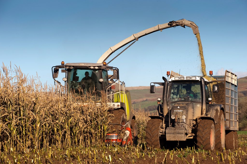 Maize (Zea mays) crop, Claas 970 self-propelled forage harvester, harvesting silage, loading tractor and trailer, England : Stock Photo