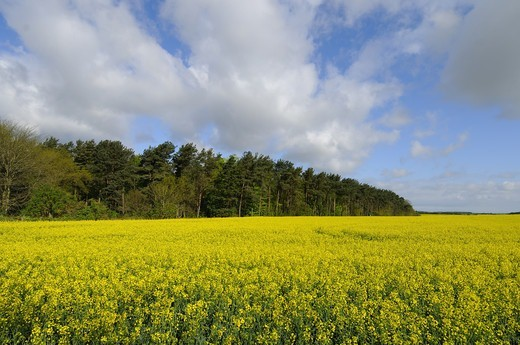 Oilseed Rape (Brassica napus) crop, flowering in field, with coniferous woodland belt in distance, Norfolk, England, may : Stock Photo
