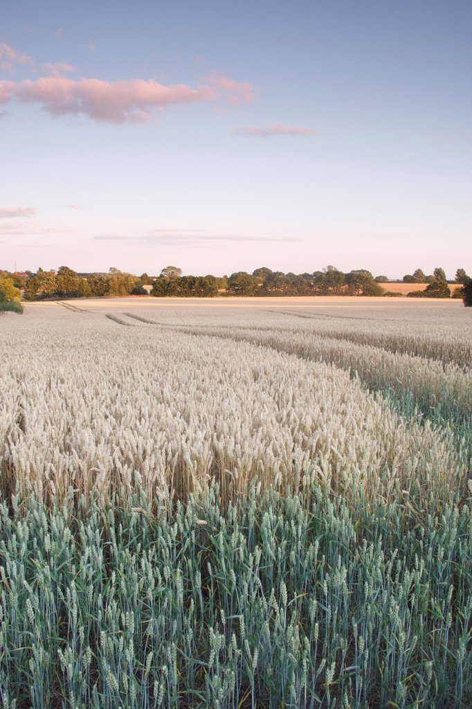 Stock Photo: 4421-39792 Wheat (Triticum aestivum) crop, ripening field at dusk, West Yorkshire, England, july