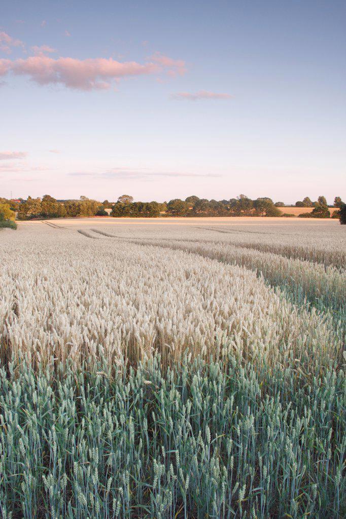 Wheat (Triticum aestivum) crop, ripening field at dusk, West Yorkshire, England, july : Stock Photo