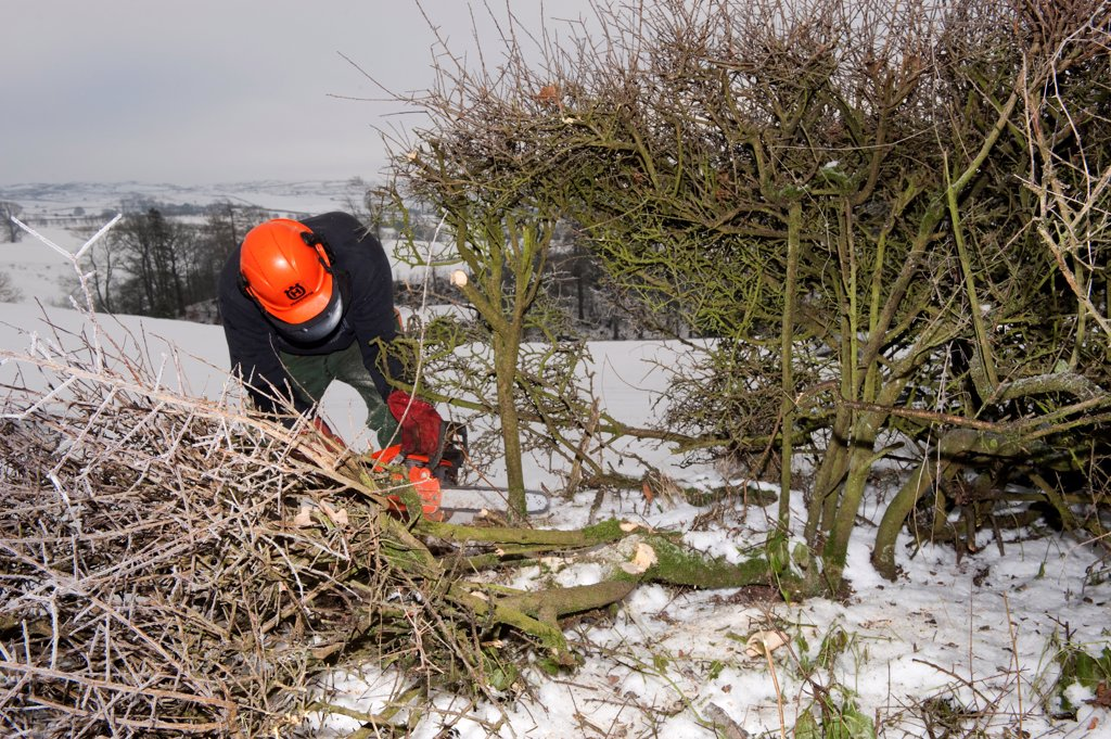 Farmer repairing old hedge in snow, cutting out old growth and relaying branches to make field boundry, Cumbria, England, december : Stock Photo