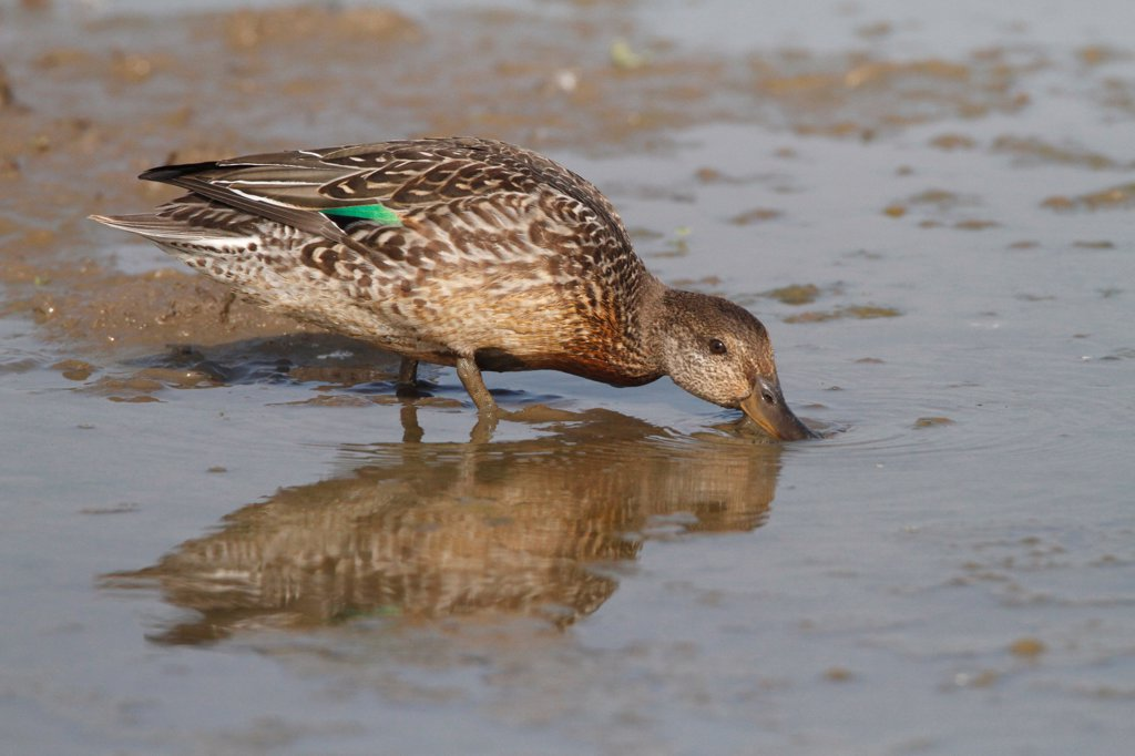 Stock Photo: 4421-4032 Common Teal (Anas crecca) juvenile, eclipse plumage, dabbling in muddy water, Norfolk, England, september