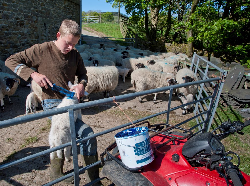 Stock Photo: 4421-40328 Shepherd marking Lonk lambs with marking fluid, Dinkling Green Farm, Whitewell, Lancashire, England, may