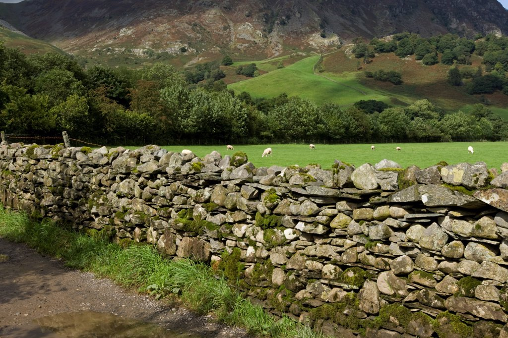Stock Photo: 4421-40482 Drystone wall, sheep flock grazing in pasture, Rosthwaite, Cumbria, England, september