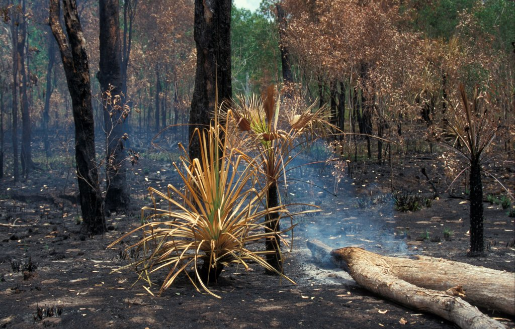 Fire Low intensity forest fire has burnt undergrowth but not killed Eucalyptus : Stock Photo