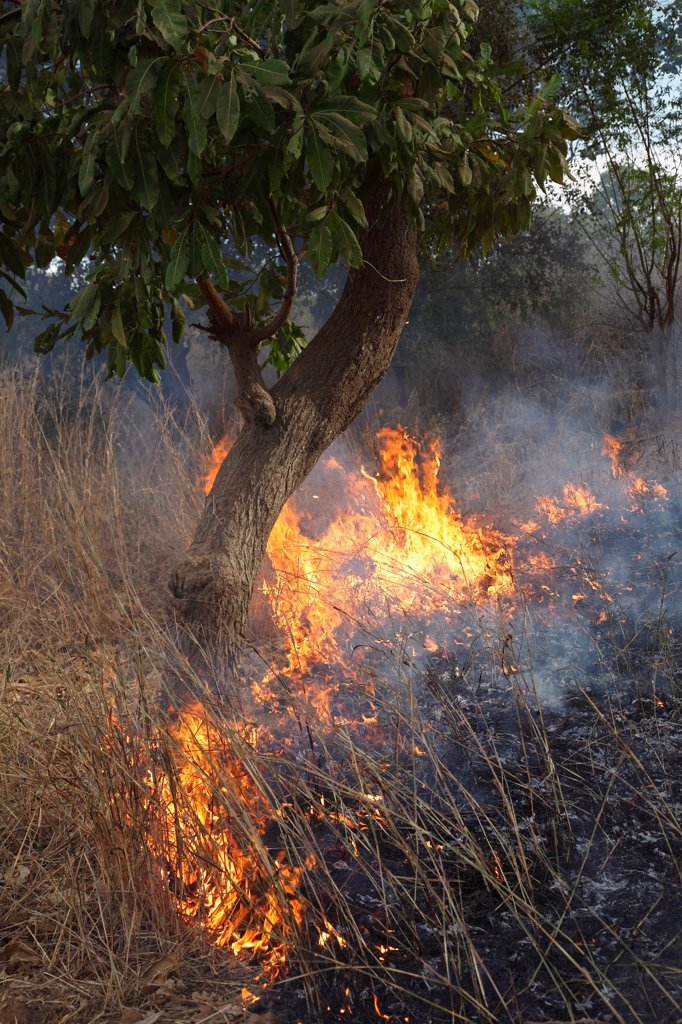 Bush fire with burning grass and tree, Gambia, january : Stock Photo