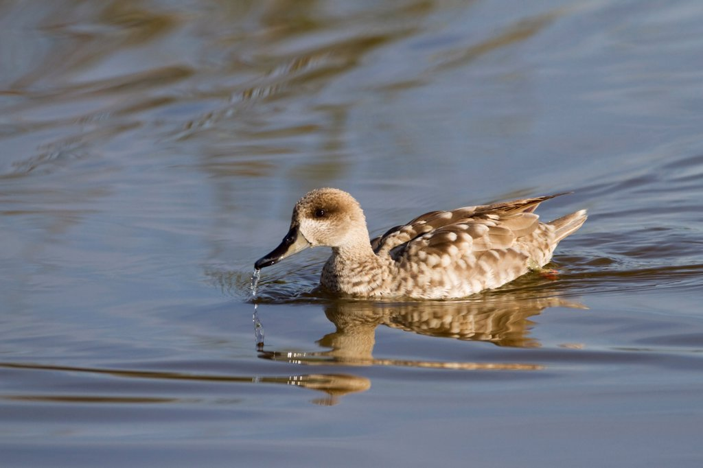 Stock Photo: 4421-4055 Marbled Teal (Marmaronetta angustirostris) adult, swimming and drinking, Albufera Reserve, Mallorca, Balearic Islands, Spain, may