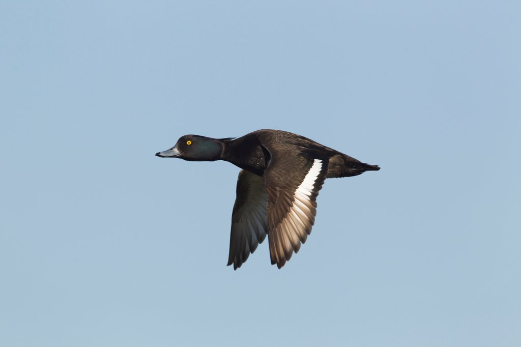 Stock Photo: 4421-4079 Tufted Duck (Aythya fuligula) adult male, in flight, Minsmere RSPB Reserve, Suffolk, England, june