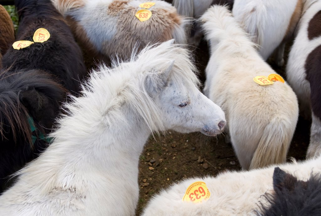 Ponies with auction numbers in pen at sale, New Forest, Hampshire, England, october : Stock Photo