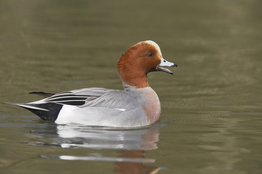 Eurasian Wigeon (Anas penelope) adult male, calling on water, Sussex, England : Stock Photo