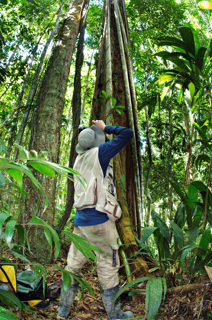 Stock Photo: 4421-41459 Photographer photographing Strangler Fig (Ficus sp.) in forest, Madre de Dios, Amazonia, Peru