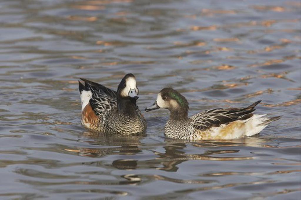 Stock Photo: 4421-4151 Chiloe Wigeon (Anas sibilatrix) adult pair, swimming, Slimbridge W.W.T. (captive)