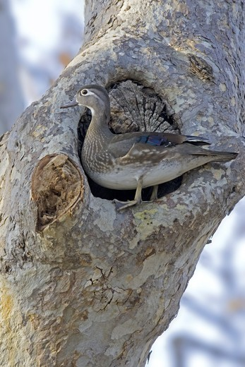 Stock Photo: 4421-4152 Wood Duck (Aix sponsa) adult female, standing at nesthole in sycamore tree, U.S.A.