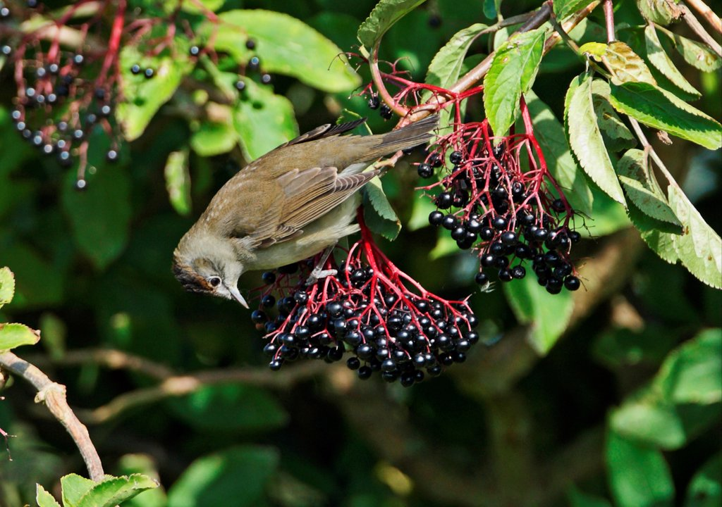 Blackcap (Sylvia atricapilla) juvenile male, feeding on Elder (Sambucus nigra) berries, Norfolk, England, October : Stock Photo