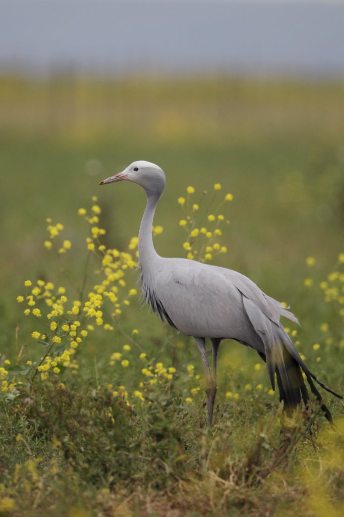 Stock Photo: 4421-41669 Blue Crane (Anthropoides paradisea) adult, standing in field, near Bredasdorp, Western Cape, South Africa, September