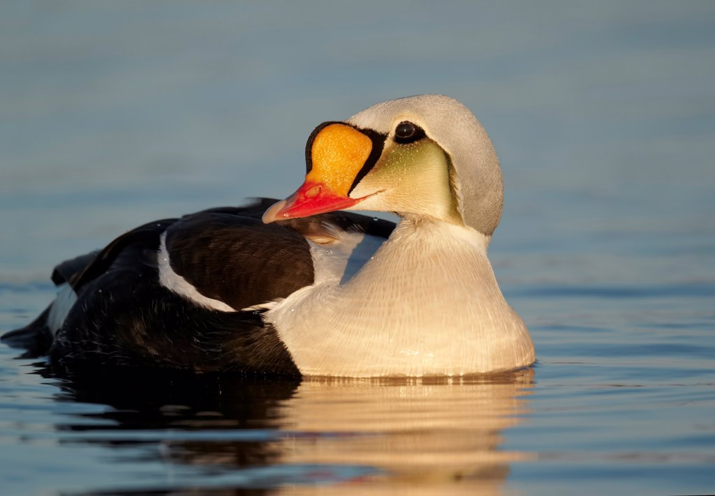 Stock Photo: 4421-41719 King Eider (Somateria spectabilis) adult male, breeding plumage, swimming, Nunavut, Canada, July