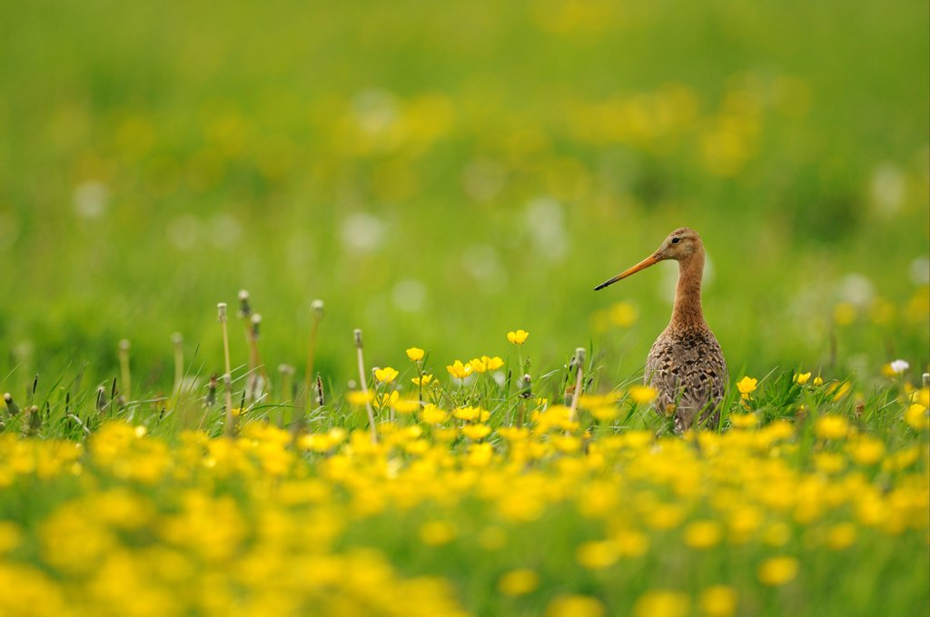 Stock Photo: 4421-41793 Black-tailed Godwit (Limosa limosa) adult, breeding plumage, standing amongst flowering buttercups in field, Netherlands, May