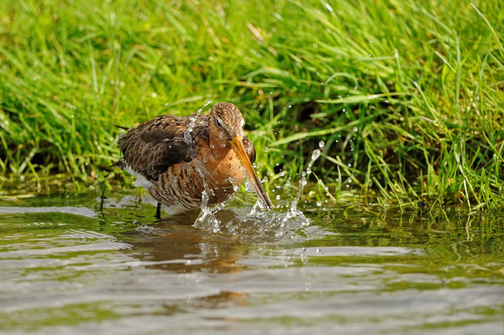 Stock Photo: 4421-41794 Black-tailed Godwit (Limosa limosa) adult, breeding plumage, bathing, Netherlands, May