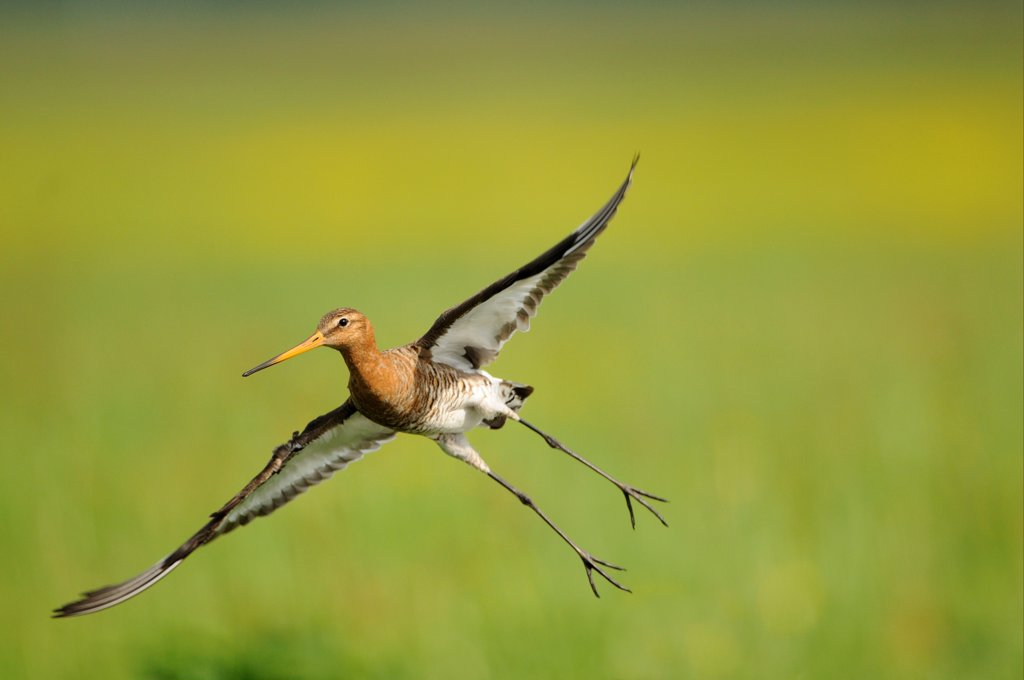 Black-tailed Godwit (Limosa limosa) adult, breeding plumage, in flight, Netherlands, May : Stock Photo