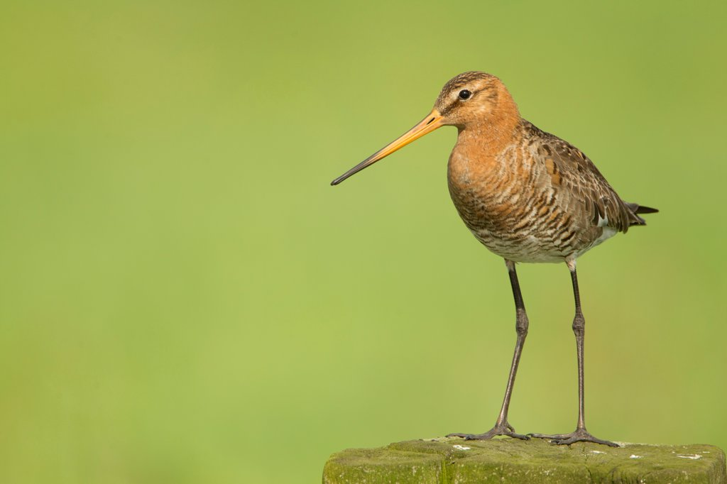 Stock Photo: 4421-41805 Black-tailed Godwit (Limosa limosa) adult, breeding plumage, standing on post, Netherlands, May