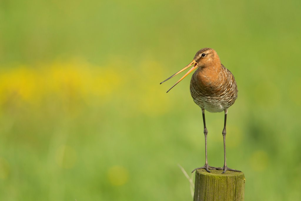 Stock Photo: 4421-41807 Black-tailed Godwit (Limosa limosa) adult, breeding plumage, calling, standing on post, Netherlands, May