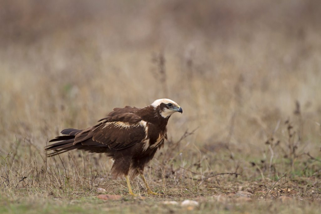 Western Marsh Harrier (Circus aeruginosus) adult female, standing on ground, Northern Spain, November : Stock Photo