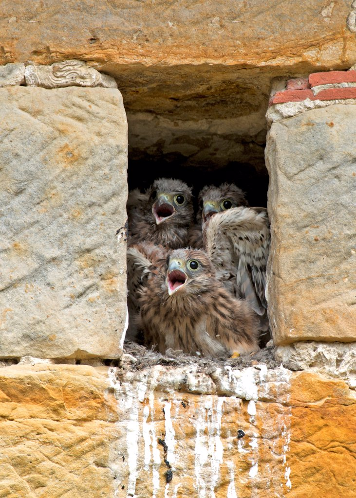 Common Kestrel (Falco tinnunculus) three chicks, calling for parent arrival, at nest entrance in sandstone barn, Sussex, England, July : Stock Photo