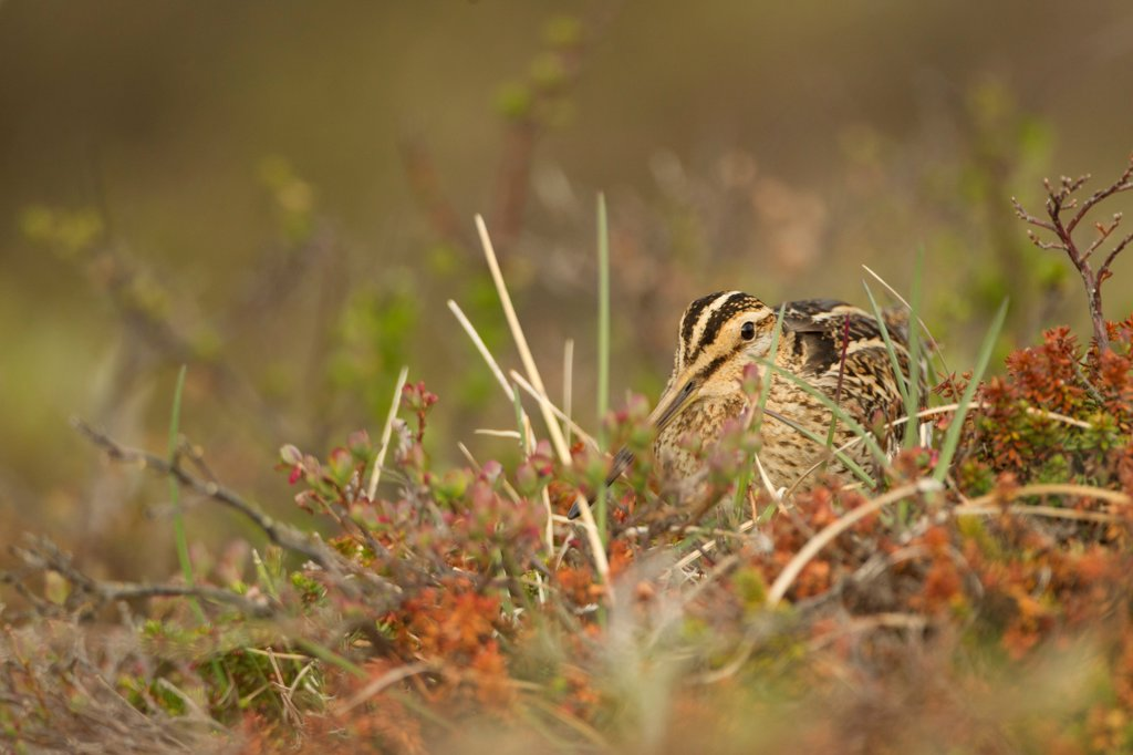 Stock Photo: 4421-42005 Common Snipe (Gallinago gallinago) adult, amongst vegetation on moorland, Iceland, June