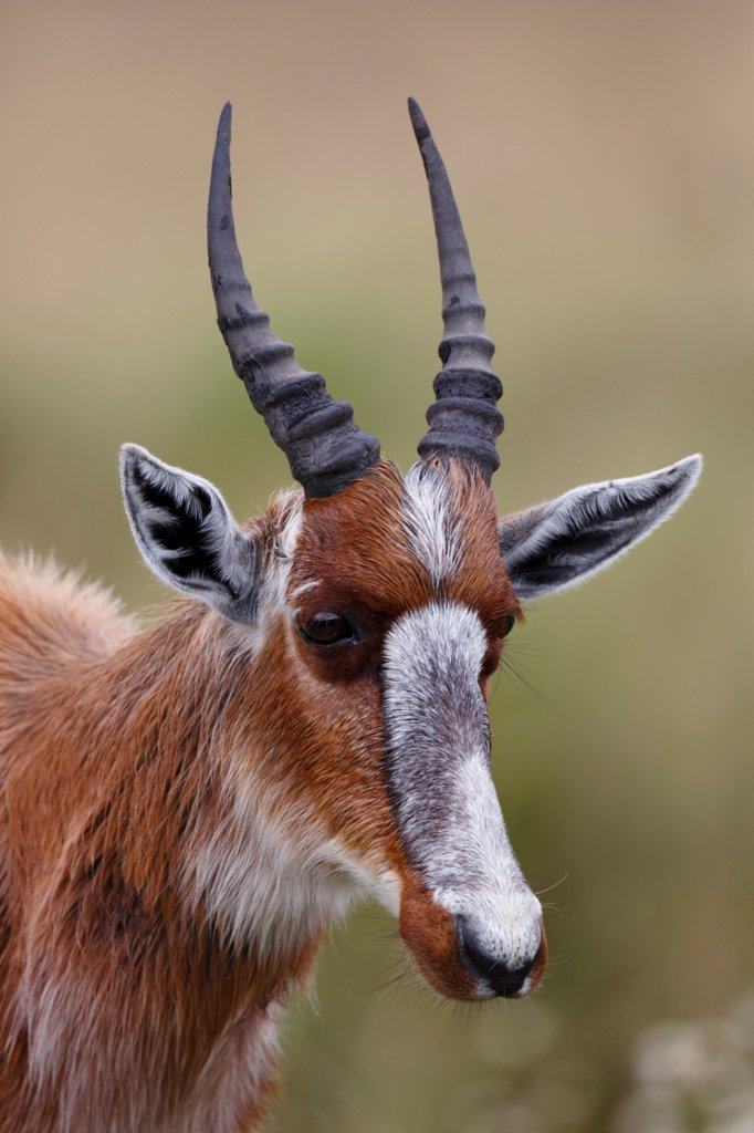 Stock Photo: 4421-42098 Bontebok (Damaliscus pygargus pygargus) juvenile, close-up of head, Bontebok N.P., Western Cape, South Africa, September
