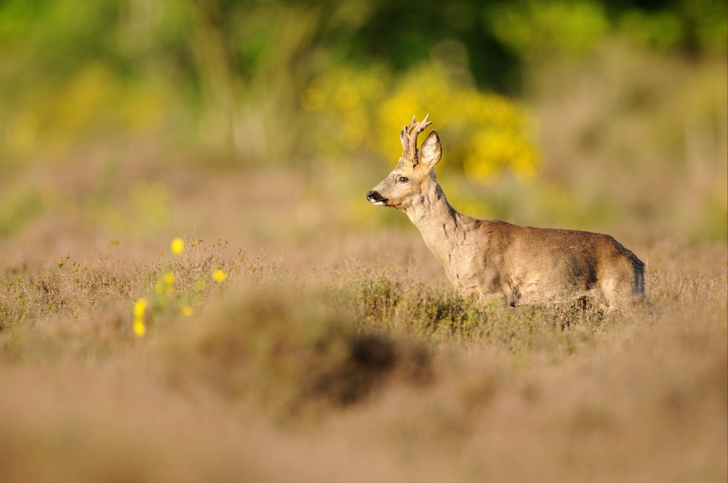 Stock Photo: 4421-42199 Western Roe Deer (Capreolus capreolus) buck, running through heather, Netherlands, May