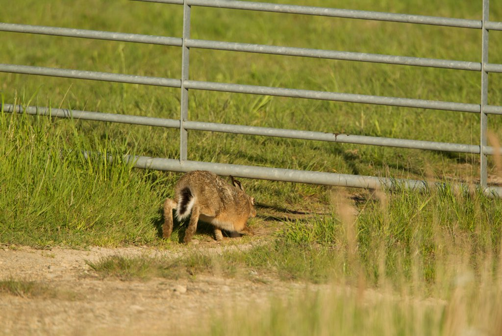 Stock Photo: 4421-42242 European Hare (Lepus europaeus) adult, walking under farm gate, Lincolnshire, England, May