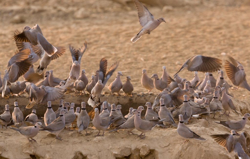 Cape Turtle-dove (Streptopelia capicola) adults, flock drinking at waterhole, Kalahari Desert, Kalahari Gemsbok N.P., Kgalagadi Transfrontier Park, Northern Cape Province, South Africa, August : Stock Photo