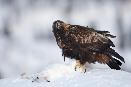 Stock Photo: 4421-4289 Golden Eagle (Aquila chrysaetos) adult, feeding on Mountain Hare (Lepus timidus) prey in snow, Norway, february