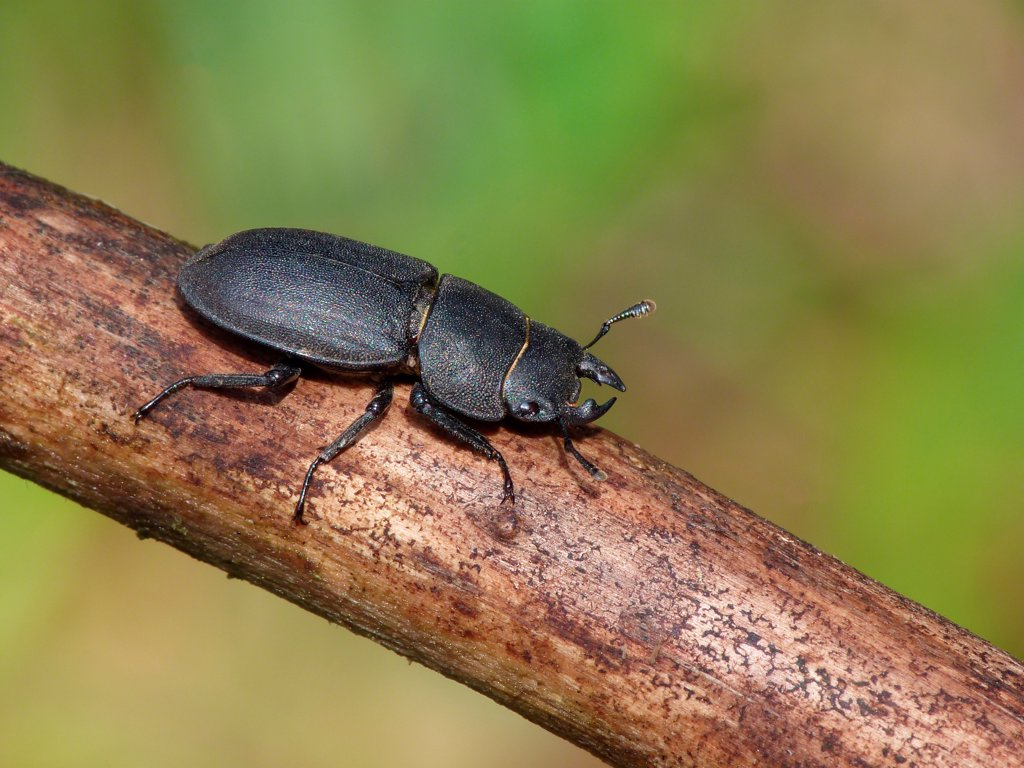 Stock Photo: 4421-43913 Lesser Stag Beetle (Dorcus parallelipipedus) adult, resting on branch, Cannobina Valley, Italian Alps, Piedmont, Northern Italy, July