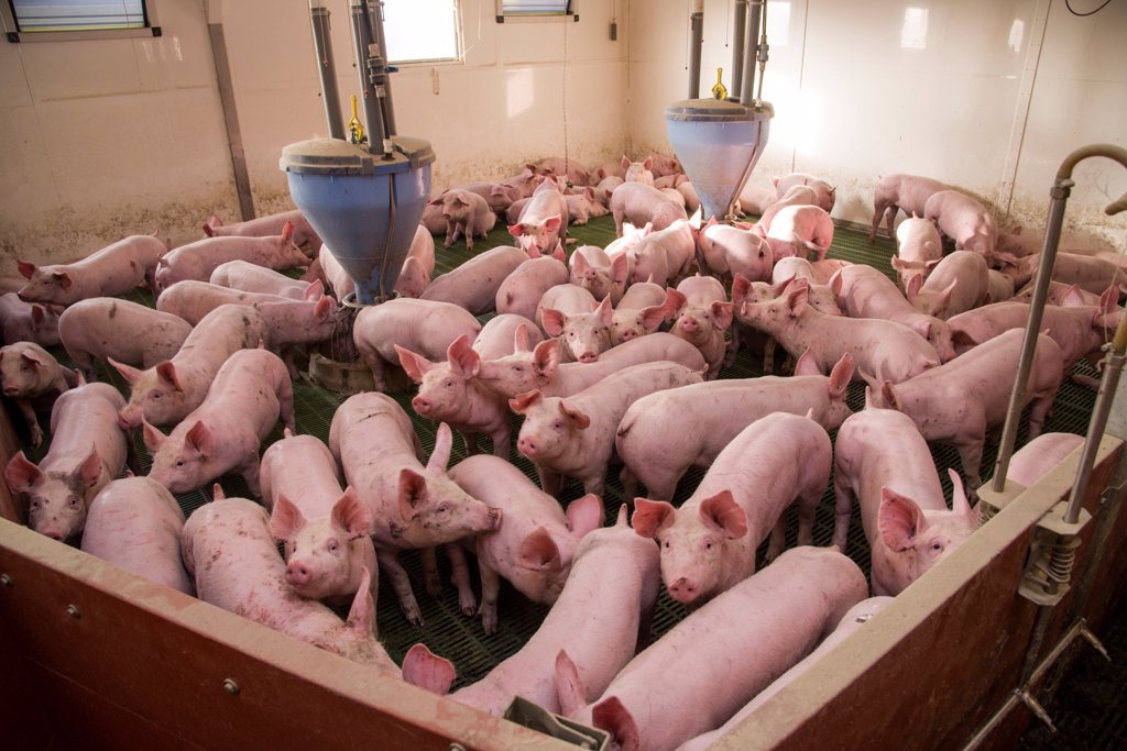 Stock Photo: 4421-44808 Pig farming, eleven-week old weaners, with automatic feeders, on slats in indoor unit, Lancashire, England, November